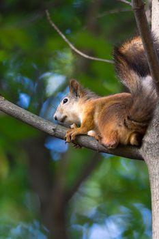 red squirrel on a branch in summer, Sciurus, park