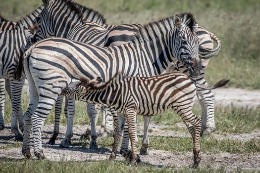 Zebra calf suckling from his mother in the Chobe National Park, Botswana.