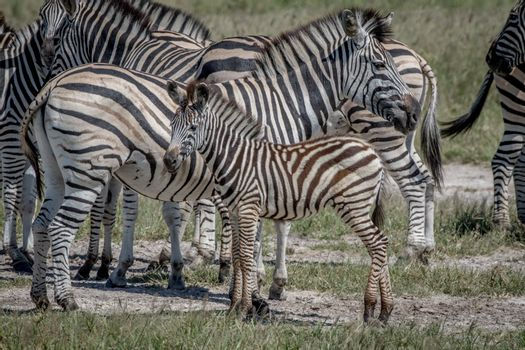 Zebra calf in between the herd in the Chobe National Park, Botswana.