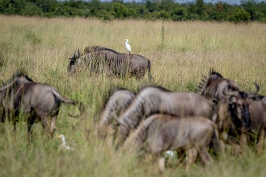 Blue wildebeests standing in the grass with a Cattle egret in the Chobe National Park, Botswana.