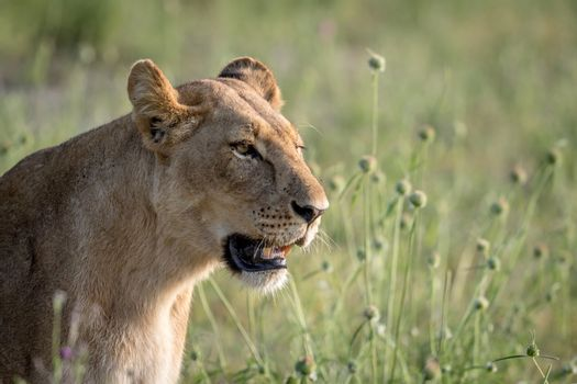 Side profile of a Lion in the grass in the Chobe National Park, Botswana.