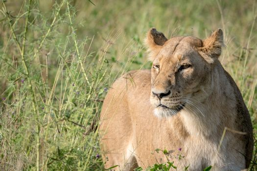 Lion standing in the high grass and starring in the Chobe National Park, Botswana.