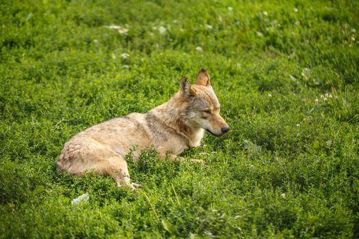 Wild gray wolf