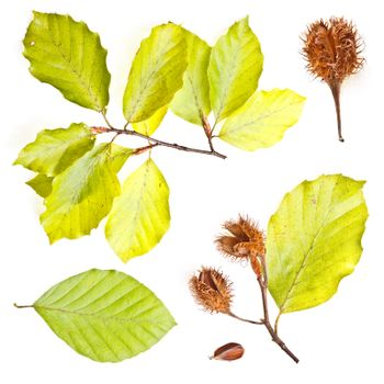 Collection of european beech leaves