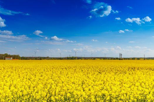 Rapeseed flower landscape
