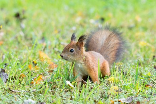 Squirrel sits on the grass next to the road with a nut, autumn