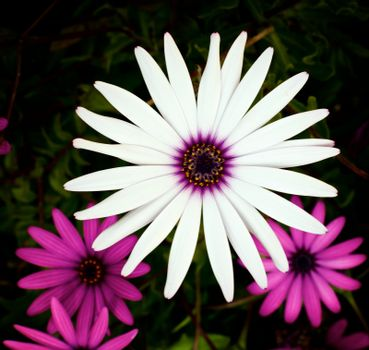 One Big Beauty White and Some Pink Garden Daisy Flowers on Blurred Flower and Leafs background Outdoors