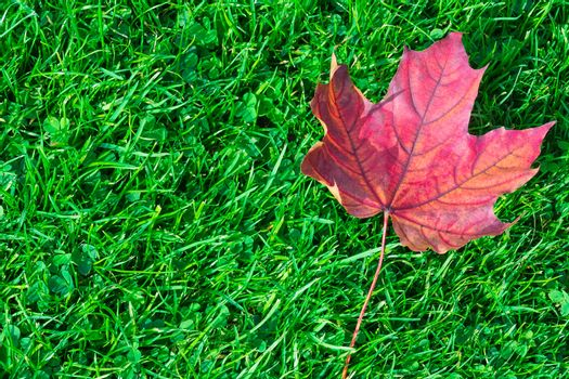 Autumn leaf maple on green grass, red leaf