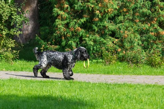Dog breed spaniel on the grass in the park