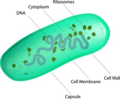 Lactobacillus bacteria internal structure. Medical vector illustration