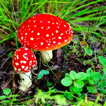 Closeup shot of Amanita Muscaria, poisonous mushroom