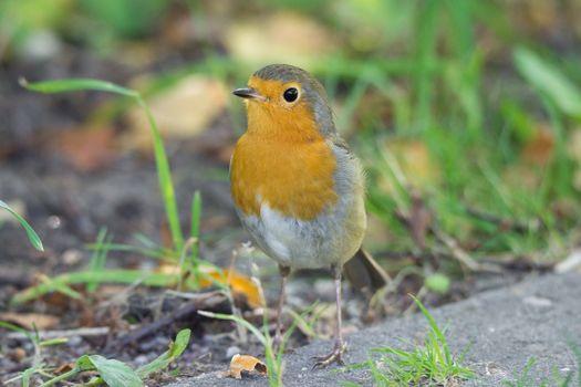 robin on the grass, beautiful bird, Erithacus rubecula