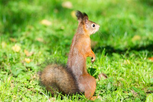 red squirrel on a branch in summer, Sciurus, park, Tamiasciurus