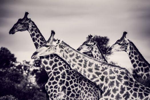 Beautiful wild giraffes