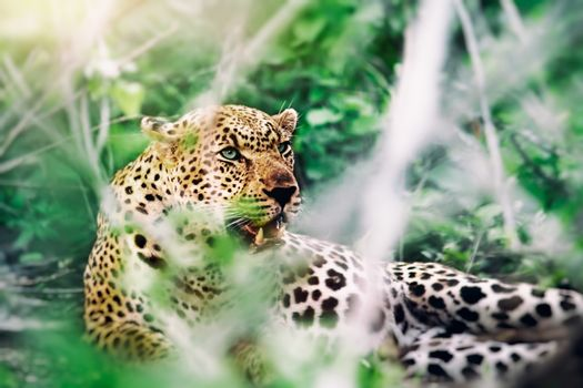 Beautiful wild leopard