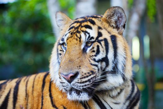 Portrait of a bengal tiger.p