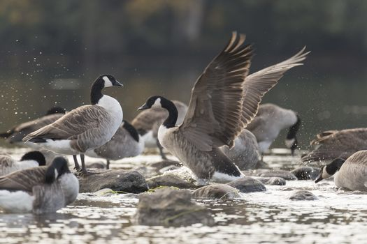 Canada Goose Flapping Wings by rocks in water.