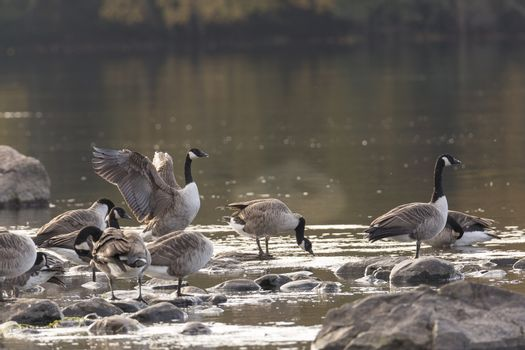 Canada Geese on rocks in water.