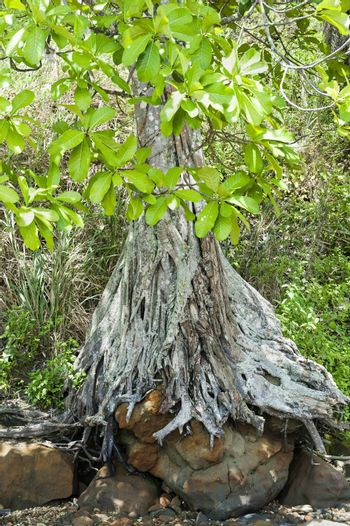 a mangrove roots along a dry river
