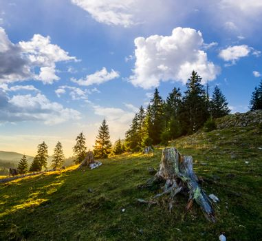 old stump among green grass and stones infront of fir forest on hillside in morning light