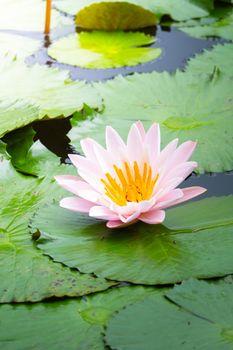 Lotus flowers blooming on the pond in summer