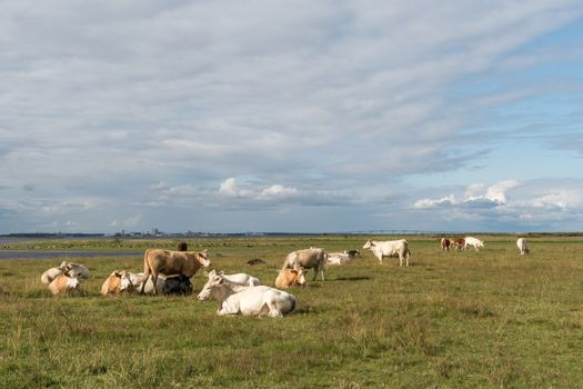 Peaceful view of resting cattle