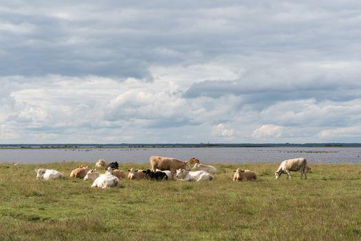 Herd of resting cattle by seaside