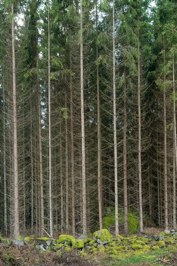 Tall spruce trees