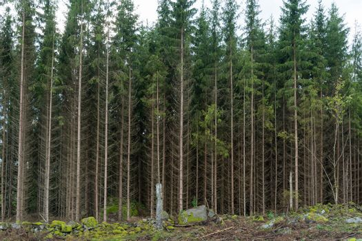 Growing spruce tree forest