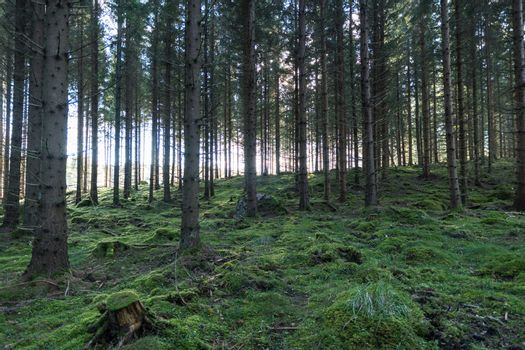 Old forest with mossy ground