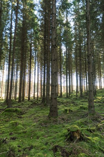 Tall spruce trees in a mossy forest