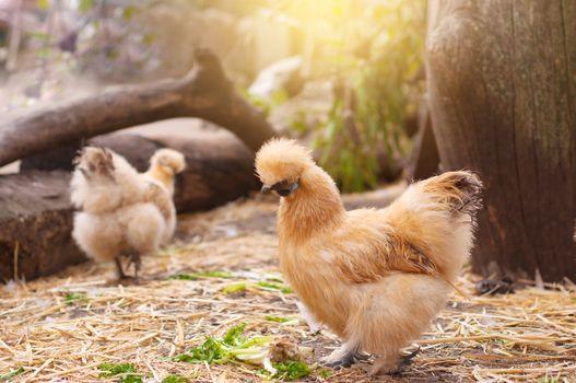 Silky Australian Chicken