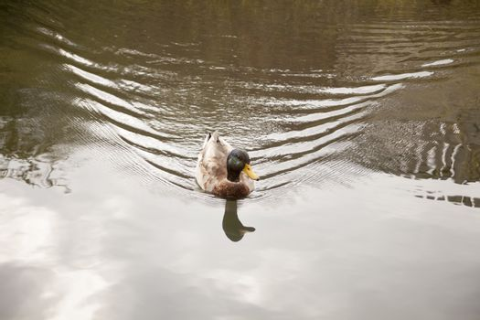 A single Portrait of a duck with reflection in the green water.