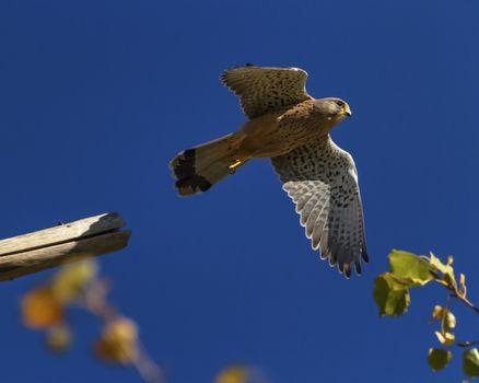 European, eurasian, common or old world kestrel, falco tinnunculus