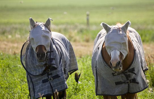Head Covered Horses