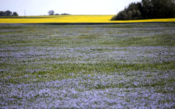 Flax Bloom Blue