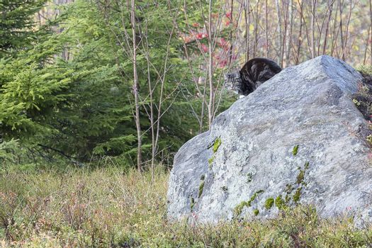 Domestic Cat on Rock in Forest.