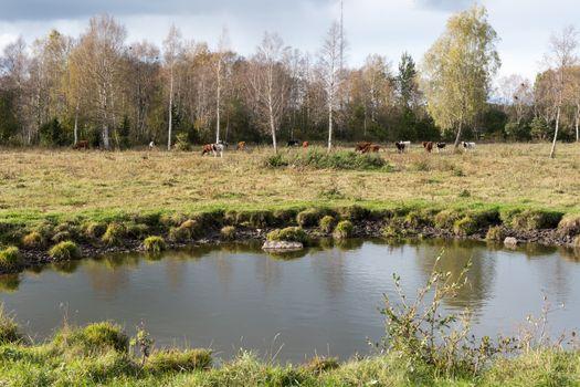 Waterhole in front of a herd of cattle
