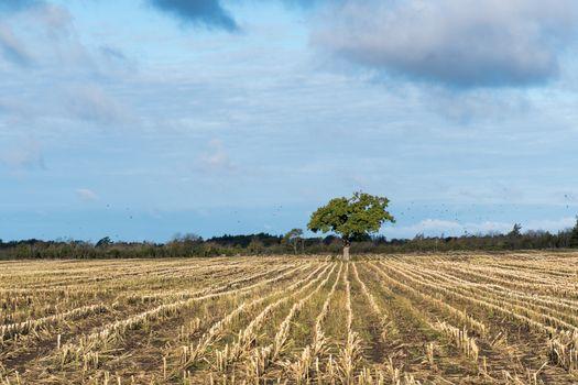 Lone tree in a stubble field