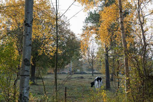 Grazing cow in a fall season colored landscape
