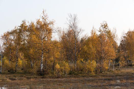 Sparkling golden birch trees