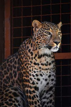 Close up side portrait of Amur leopard over grate