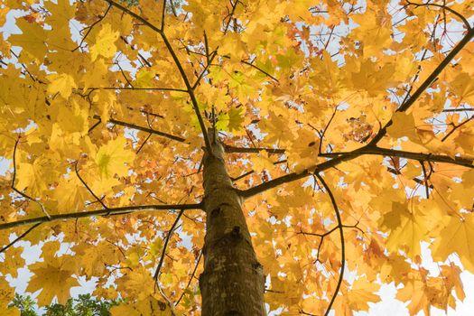 Clorful maple tree