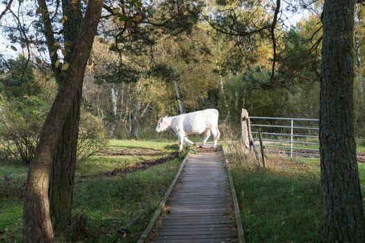 Cow crossing a wooden footbridge