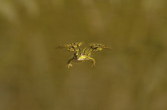 Frog swimming alone