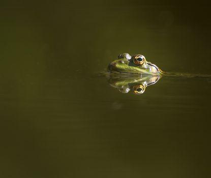Frog eyes reflection
