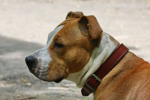 Portrait of young American Staffordshire Terrier