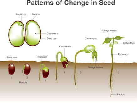 Germination of seed. Education info graphic vector.