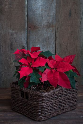 Christmas poinsettia isolated in the basket on the vintage wooden background.