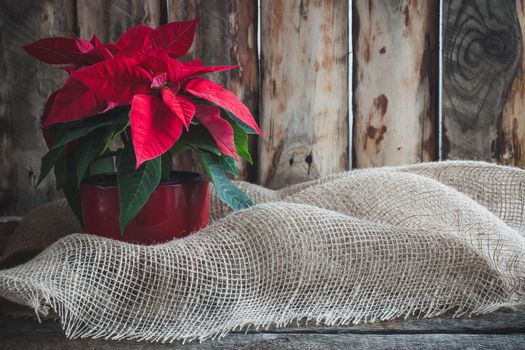 Christmas poinsettia isolated on the vintage wooden background.